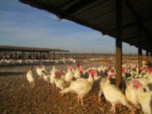 Mary's Organic Turkeys